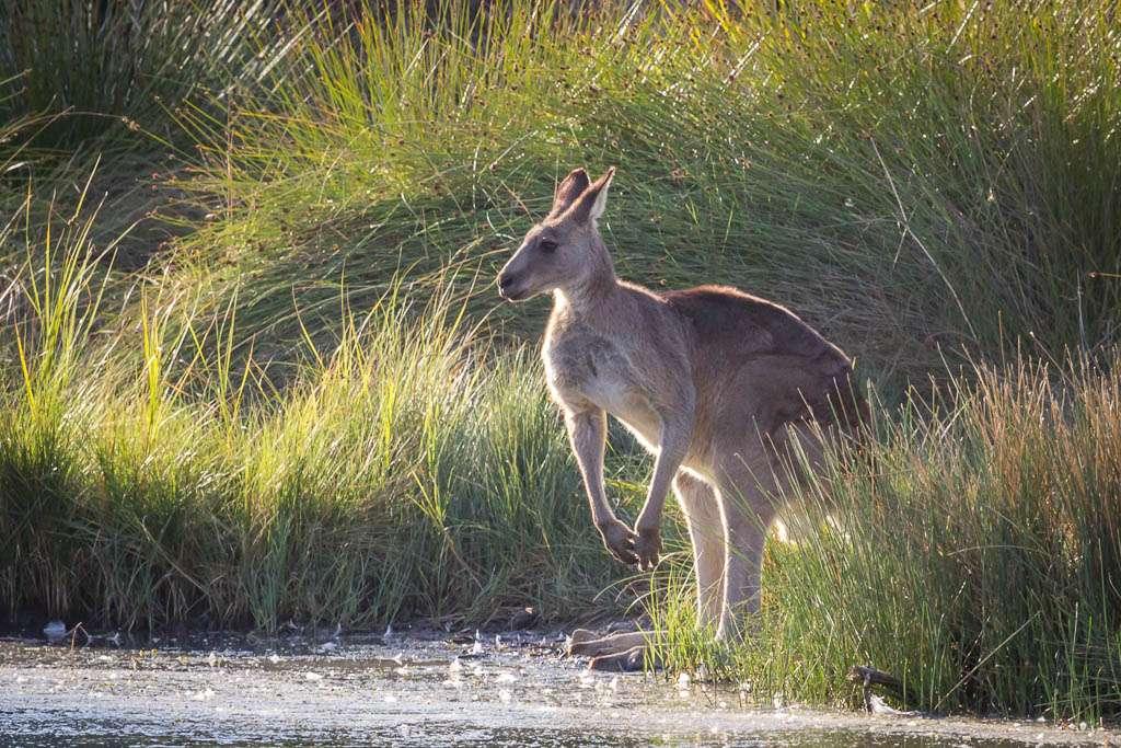 where to see kangaroos near melbourne